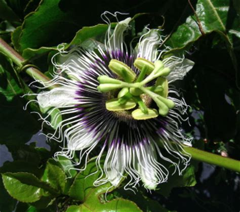 Passiflora Edulis Culture by Kartuz Greenhouses Passiflora Edulis