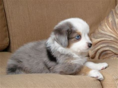australian shepherd puppies for sale florida blue horizon australian shepherds