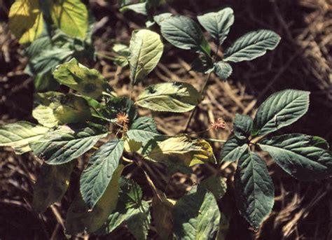 Ginseng Amerika amerikansk ginseng panax quinquefolius