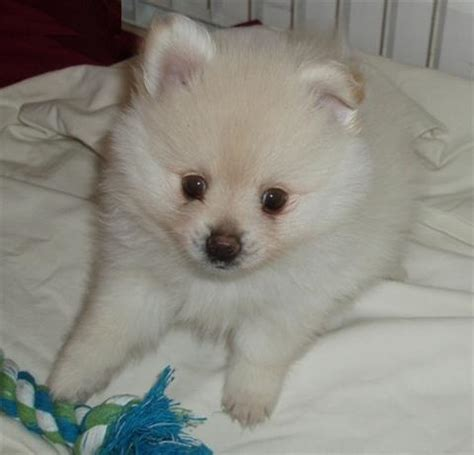 pomeranian puppies cheap pomeranian puppies for sale in cheap images