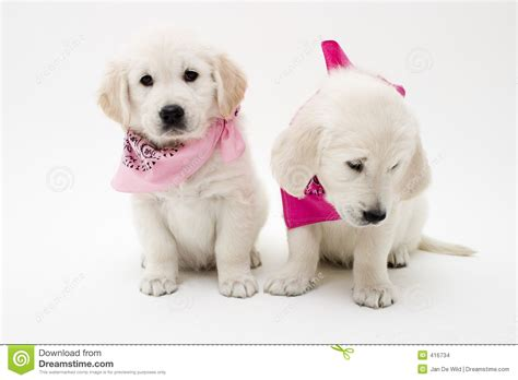 of puppies posing puppies stock photo image of golden puppies 416734