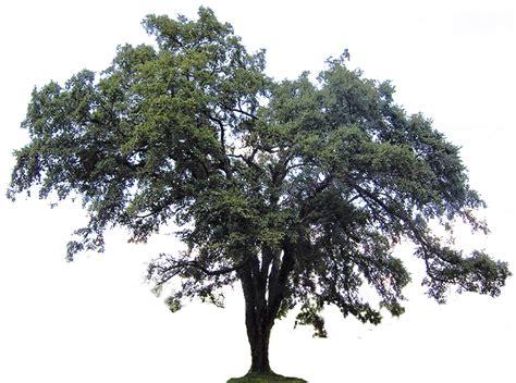 elm tree symbolism elm tree clipart clipartsgram
