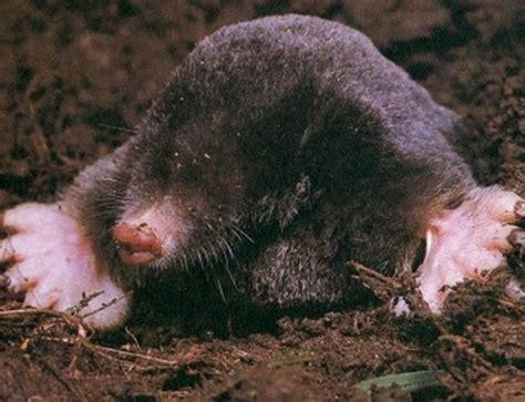 how to get rid of garden moles best practical solutions