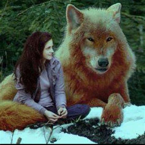 pet wolf jacob i want a pet wolf twilight saga wolves pets