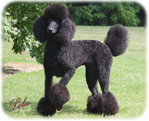 poodle haircuts countryside standard poodles referrals