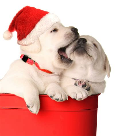 puppies santa barbara santa wants families for his abandoned pets list