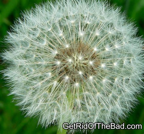 how to get rid of dandelions in any yard get rid of the bad