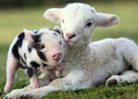 baby animals on the farm piglet and baby farm animals wallpaper