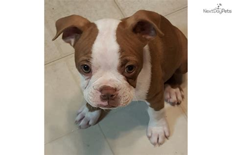 boxer puppies illinois flashy boxer puppy for sale near chicago illinois 4340a774 1091