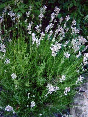 lavanda coltivazione in vaso coltivazione lavanda giardinaggio