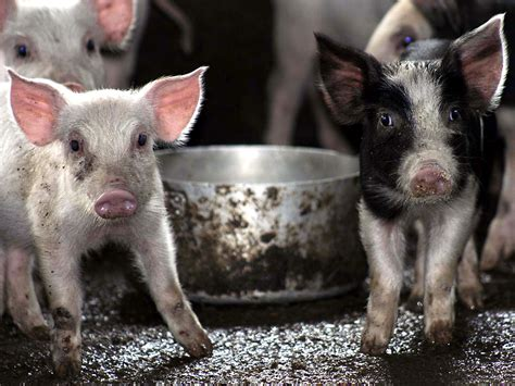 pigs pictures cute funny pig wallpapers