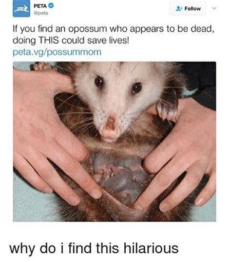Possum Memes - dead opossum meme related keywords dead opossum meme