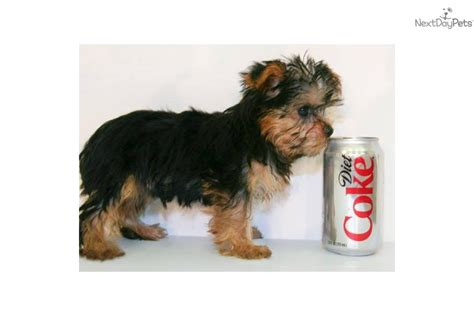 what age is a yorkie puppy grown terrier yorkie puppy for sale near columbus ohio e41efbcc ae31