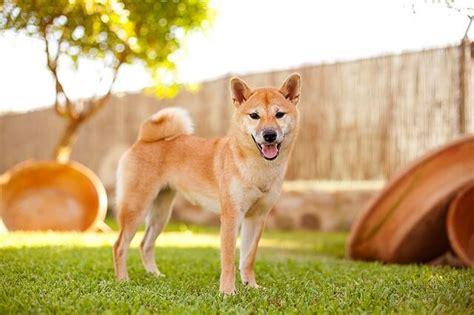 Tas Shiba Inu shiba inu perros webanimales