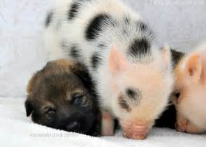 german shepherd puppies mini piglets are best buddies