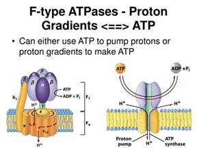 Proton Gradients Ppt Membranes And Transport Lehninger Chapter 11