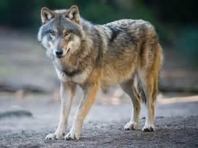 dix v 233 rit 233 s et contre v 233 rit 233 s sur le loup eco lo