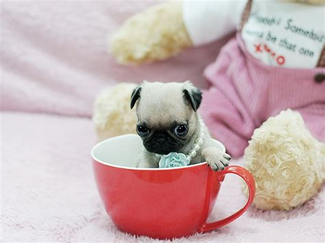 tea cup pug precious teacup pugs available at boutiqueteacuppuppies boutique teacup puppies