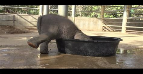 elephant in bathtub this baby elephant will stop at nothing just to have his