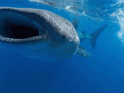 Gif Animals Science Sharks Biology Marine Biology Behavior - whale shark and manta ray gif roundup deep sea news