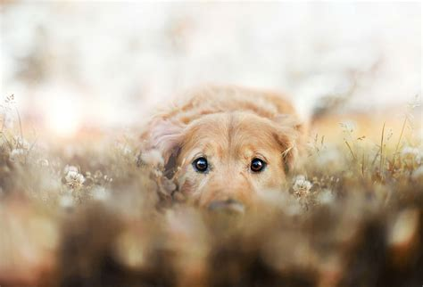puppy photography r i p chuppy the golden retriever eternalized in beautiful photography by owner