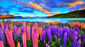 colorful images lupines on the lake hd wallpaper and background