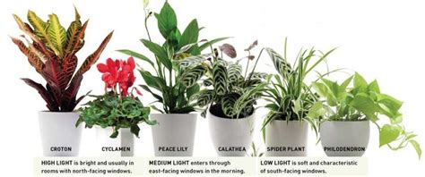 bathroom plants no light peace lily aloe vera african violets bamboo spider plants