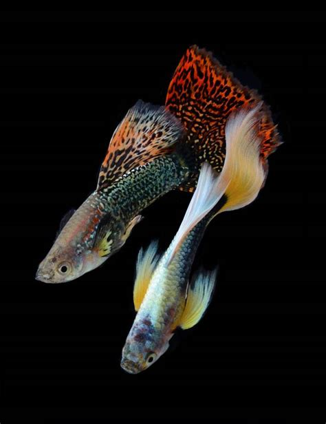 guppies colors 5 reasons why guppies are the pet mnn