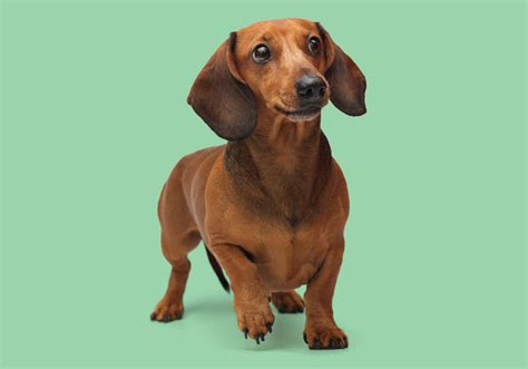 wiener breed 7 interesting facts about the dachshund animalso