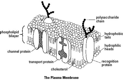 cross section of a cell membrane study guides cliffsnotes