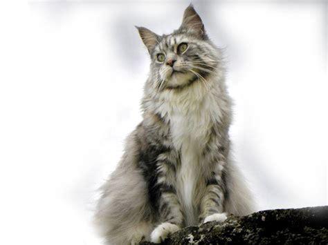 alimentazione maine coon maine coon razze dei gatti