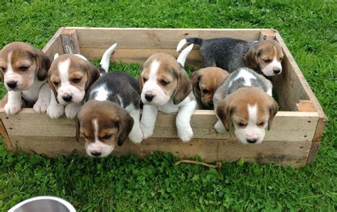 beagle puppies price beagle puppy price cost range how much are beagle puppies for sale