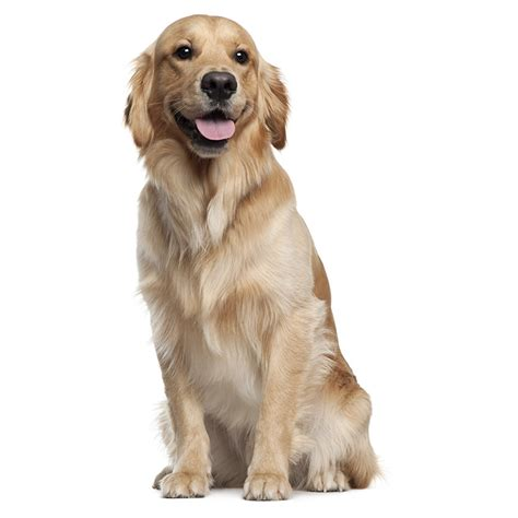 do golden retrievers get along with other dogs golden retriever america s pet registry