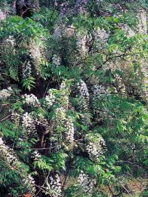 Fast Climbing Evergreen Plants - 15 climbing vines for lattice trellis or pergola landscaping ideas and hardscape design hgtv