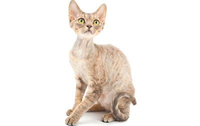 Cats With Minimal Shedding by Top 17 Least Shedding Cat Breeds Cattime