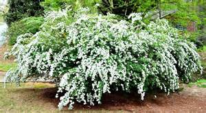 White Flowered Shrubs - 5 must have shrubs with white flowers to extend the life of your garden