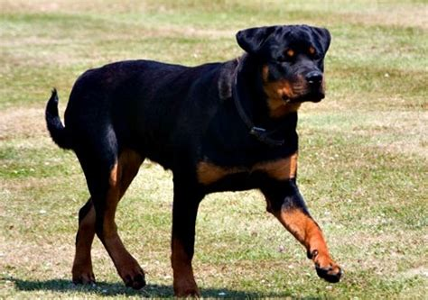 my rottweiler is aggressive rottweiler predatory aggression