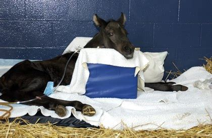 pneumonia after c section new research into r equi vaccine completed thehorse com