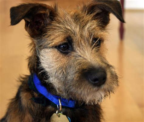 border terrier yorkie mix border terrier dachshund mix breeds picture