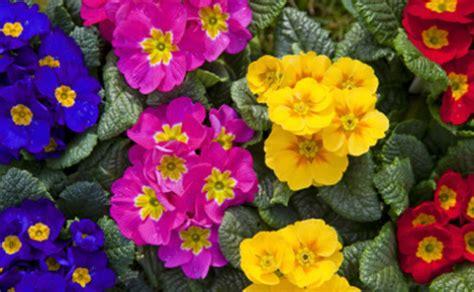 fiori primaverili da vaso fiori primaverili vaso leitv