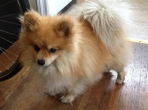 found pomeranian this pomeranian found a week ago update owner found west philly local