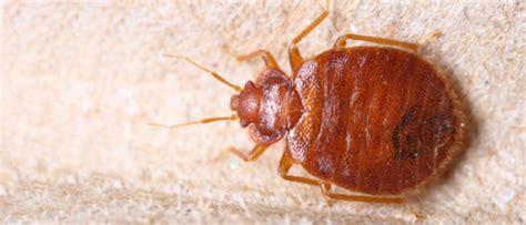 schädlinge im bett insekten im bett die neueste innovation der