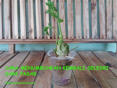 Bibit Seledri Batang cara menanam seledri dari batang 1001 cara menanam