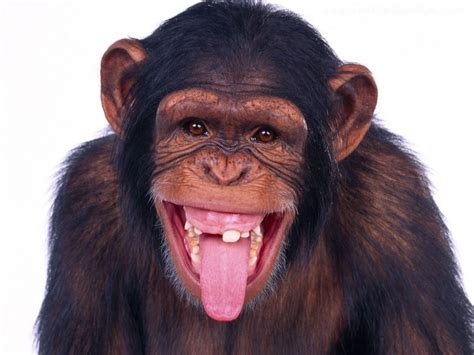 Funny Monkey Wallpapers Free Download
