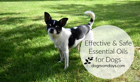 is eucalyptus safe for dogs effective safe essential oils for dogs days