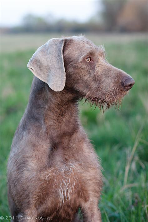 breed o wire haired weimaraner www pixshark images galleries with a bite