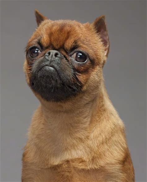 hybrid pug brug breed information and pictures