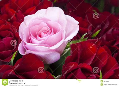 pink and red roses photo red and pink roses royalty free stock image image 19818896