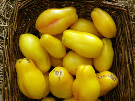 yellow bell paste tomato   southern exposure seed