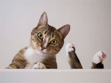 Kuas Cat 3in cat photography tabby cat with up by rogers